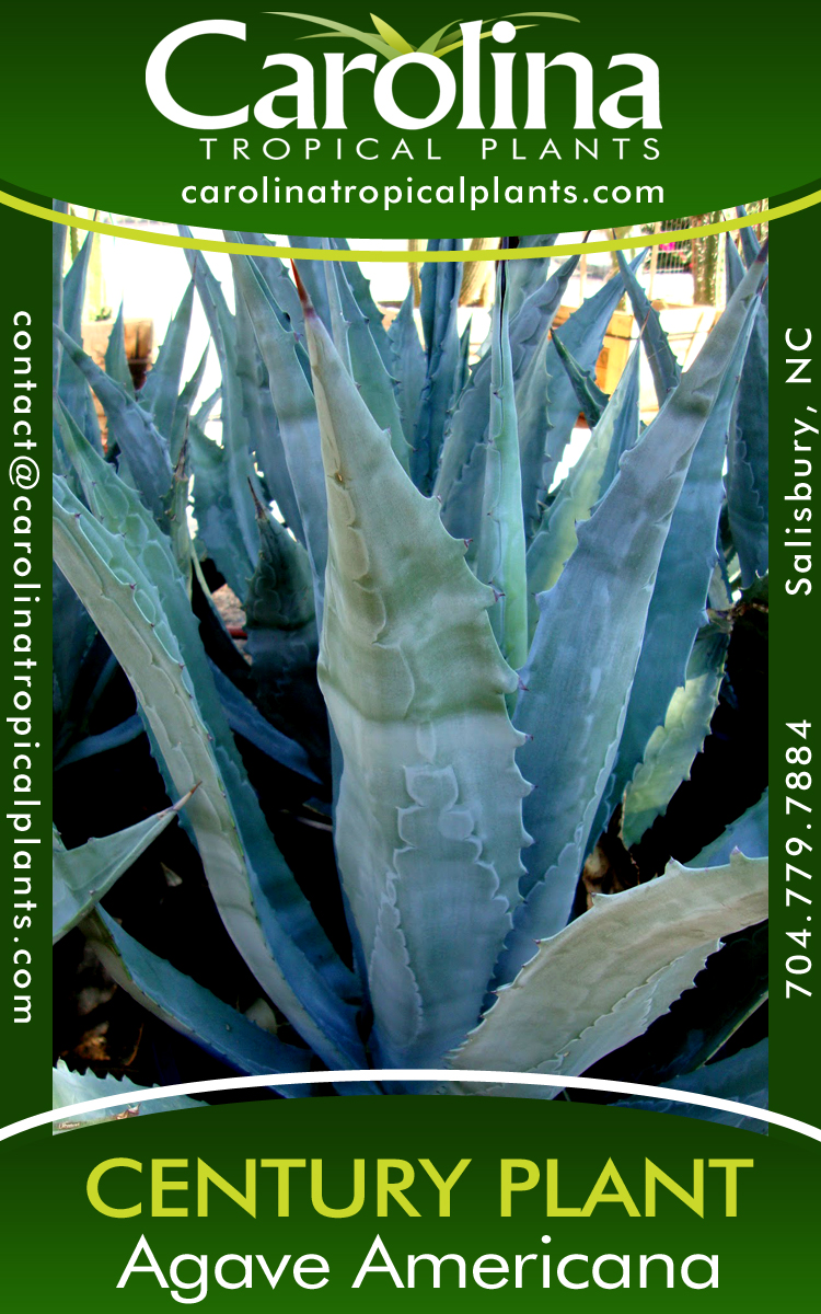 Agave Americana for sale