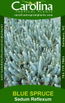 Blue Spruce Sedum Reflexum