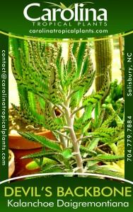 plant tag - devils backbone