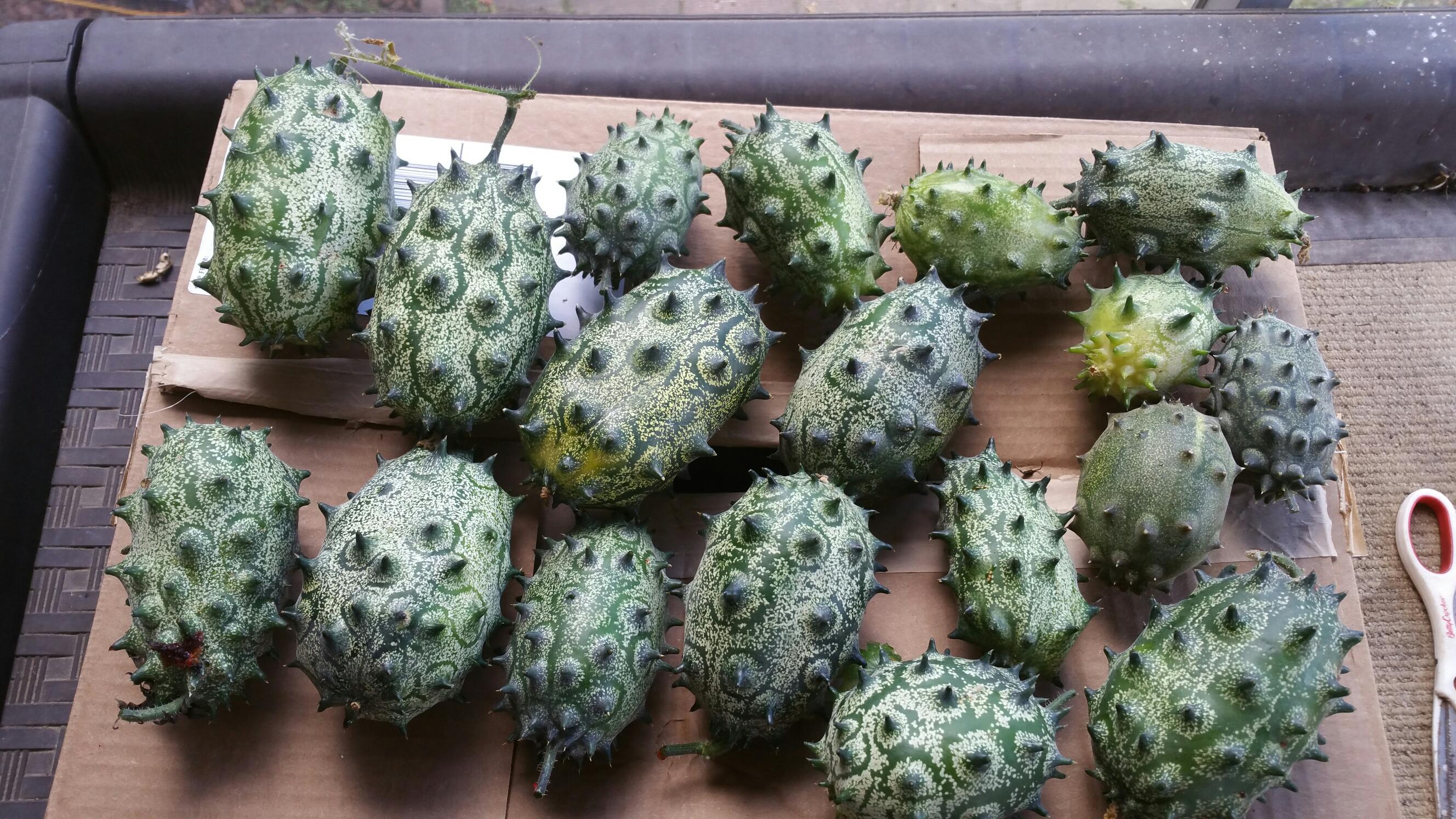 Kiwano Melon Plants